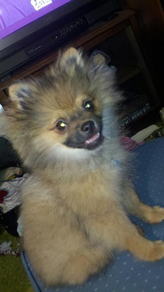 Firefly Pomeranians - Puppy Uglies